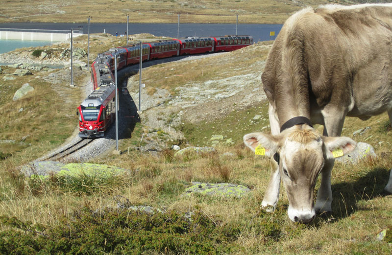 The omnipresent chue cows and the Rh tischeBahn Rhaetian Railway on the very touristy but very beautiful descent from Bernina Pass to Pontresina