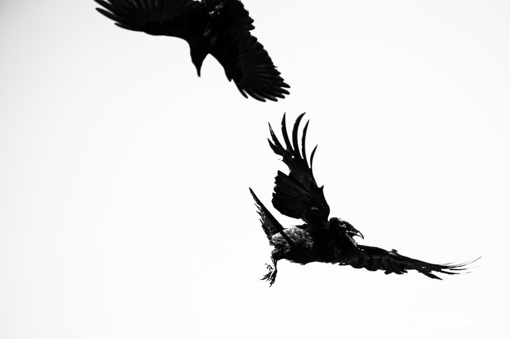 Ravens. Alert Bay.