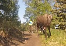 Video: Moose Charges Bike Rider
