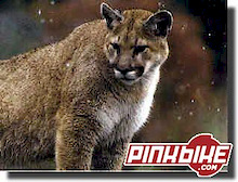 Mountain Lion Attacks Mountain Biker In Southern California