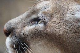Rider Killed by Cougar in Washington State