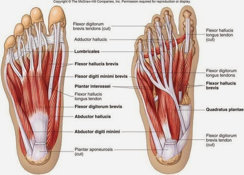 Foot Muscles 2