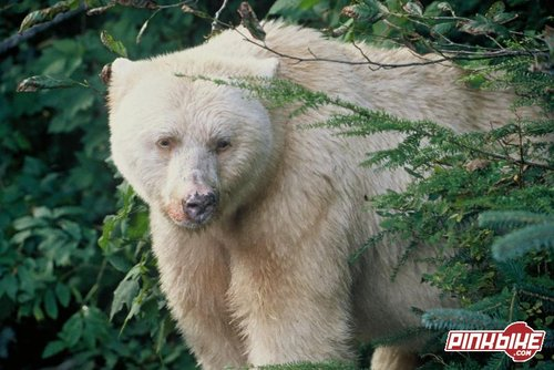 More Commonly Known As The Kermode Bear It Is Named After Francis Who Conducted First Studies Into Origins Of White In Early