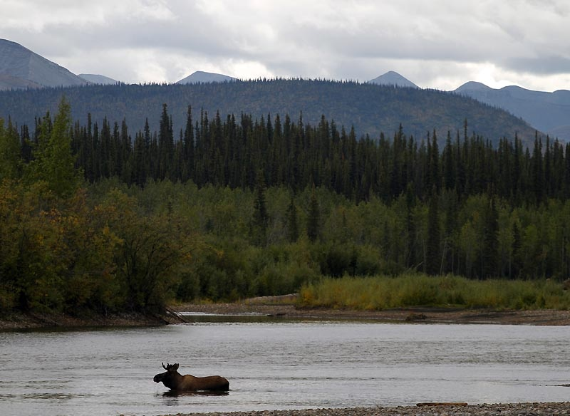 Moose on the Ogilvie River. On day 5 of our trip on our way back South