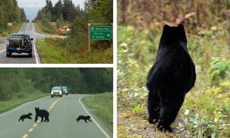 Lots of wildlife on the Stewart - Cassiar highway
