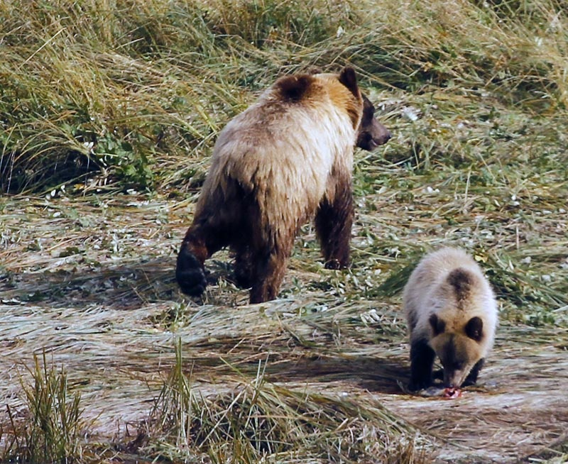 Had to sneak in obligatory grizzly mum and cub shot. This was actually taken in Haines Alaska on another leg of our journey