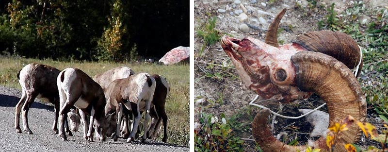 Lots of Alaska Highway wildlife and just as much hunting - goats and big-horn sheep
