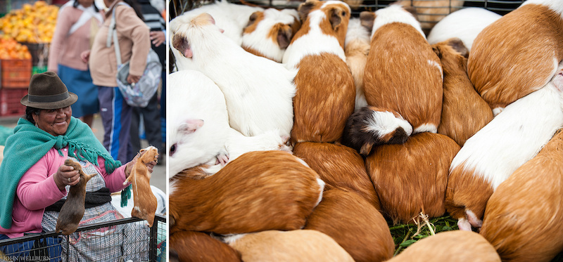 They might look cute but guinea pigs in Ecuador are a staple Best guinea pigs in town right here