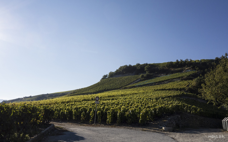 The famous Valais vineyards which line the valley side