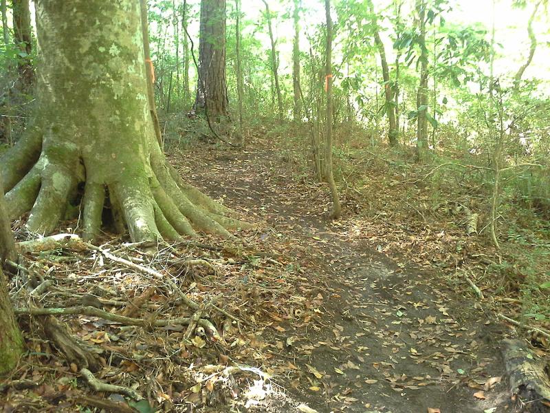 Berm below massive beech tree .