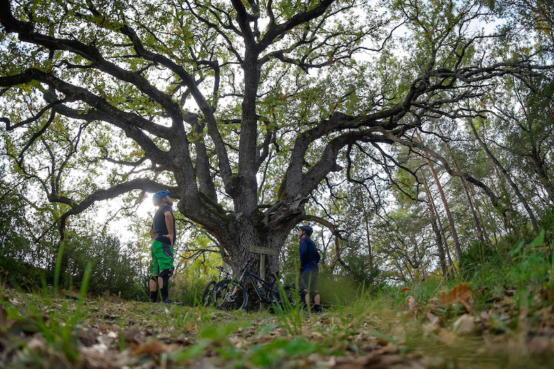 The millenary oak of Lecina in the Spanish Pyrenees