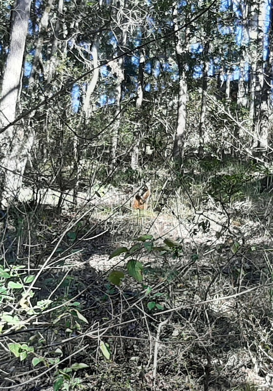 Wallaby in the bush .
