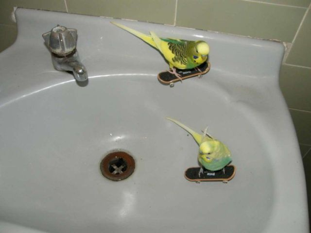 How cool are your budgies?