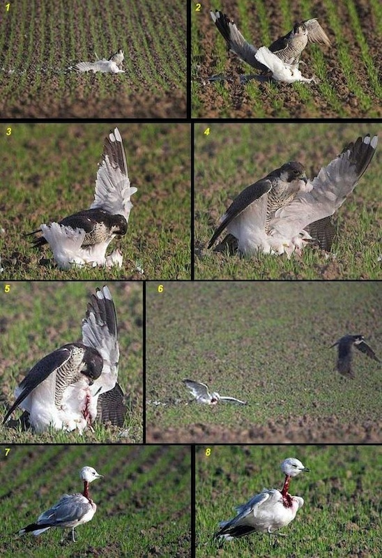 seagull, supposdely dead. getting eaten by a hawk. Half an hour later..... seagulls up and about a little under dressed