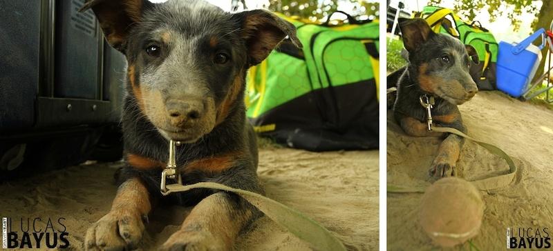 Trail dog in training.