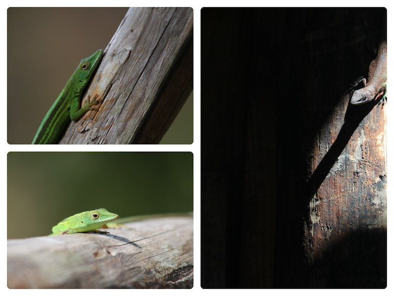 Lizards from around our cabin