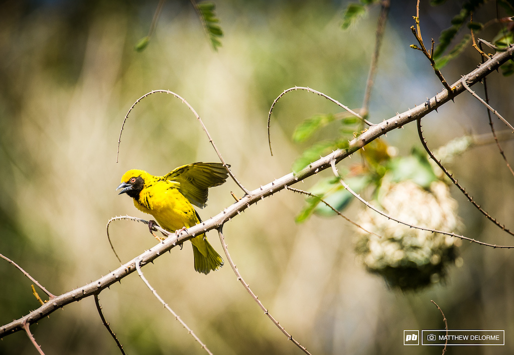 The Weaver Bird. This one is angry about something.