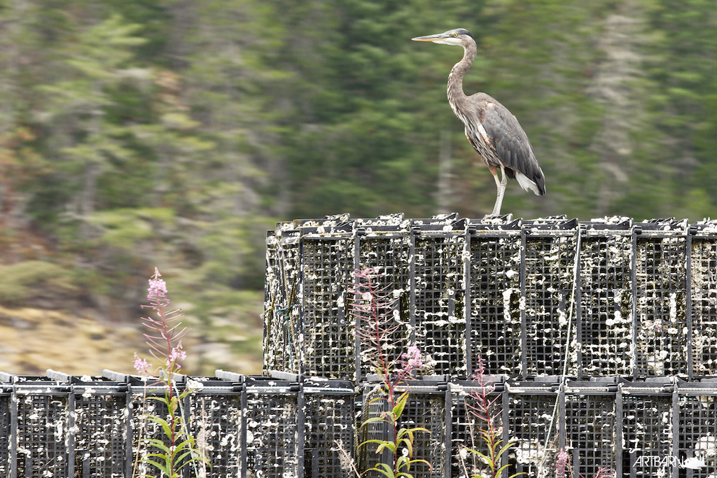 Great Blue Heron perched up on some shell fish culture baskets.