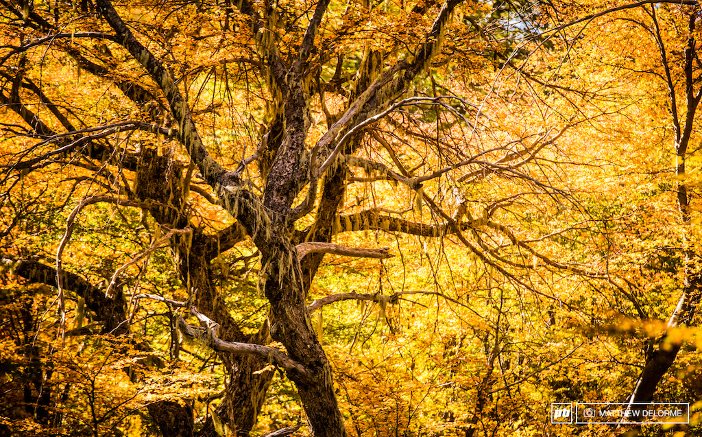 The woods of Nevados de Chillan are a mesmerizing place to be in the Fall glow of amber and gold.