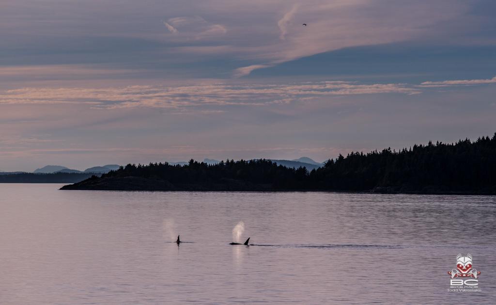 Heavy breathers on the high seas. Orcas