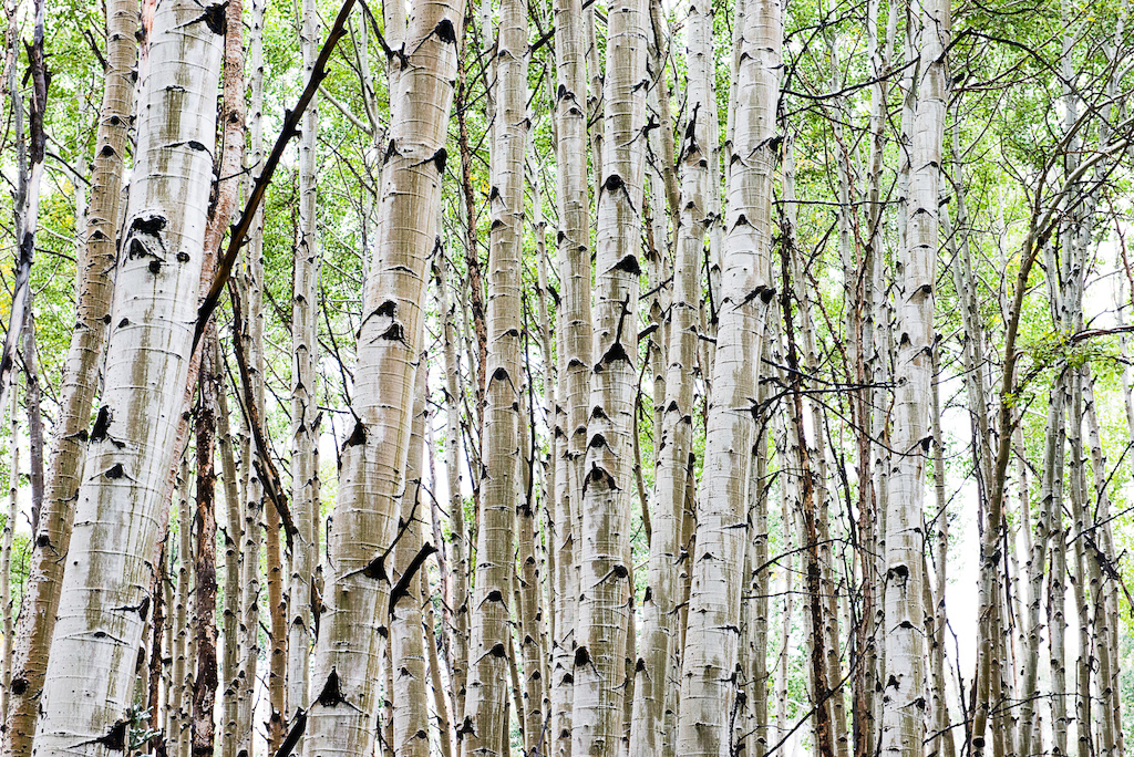 Nothing else in the world like an Aspen forest so beautiful.