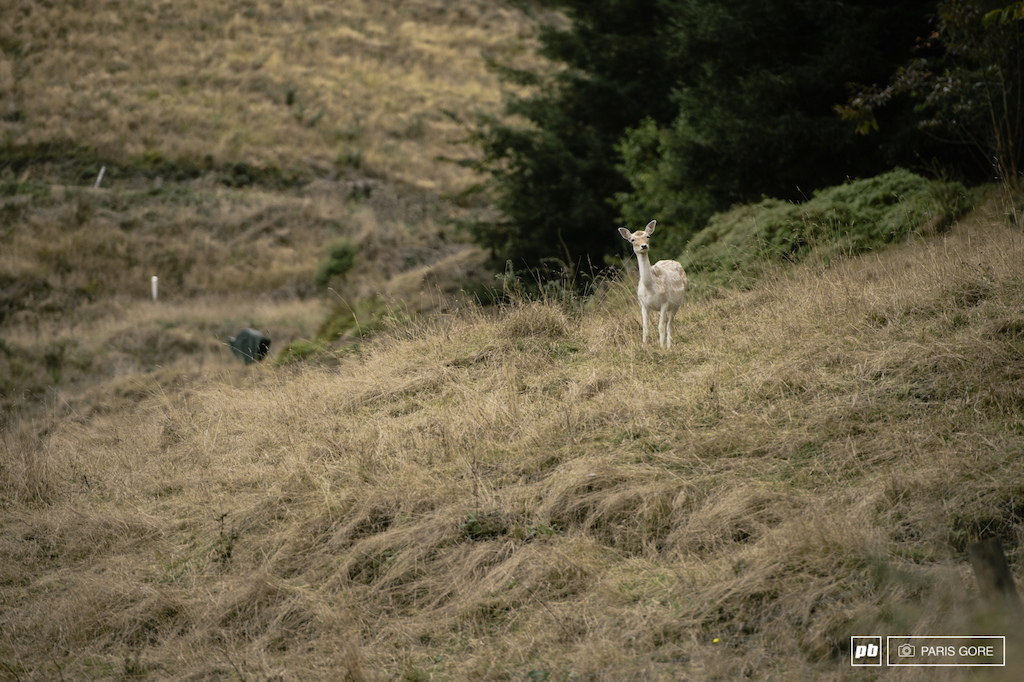 A lone white deer came by the track during the last stage to check out what all the fuss was about in the forest.