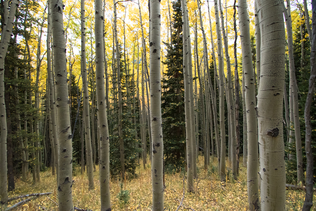 With Aspen leaves resting on pine trees and a golden forest floor one would think people never venture to these parts.