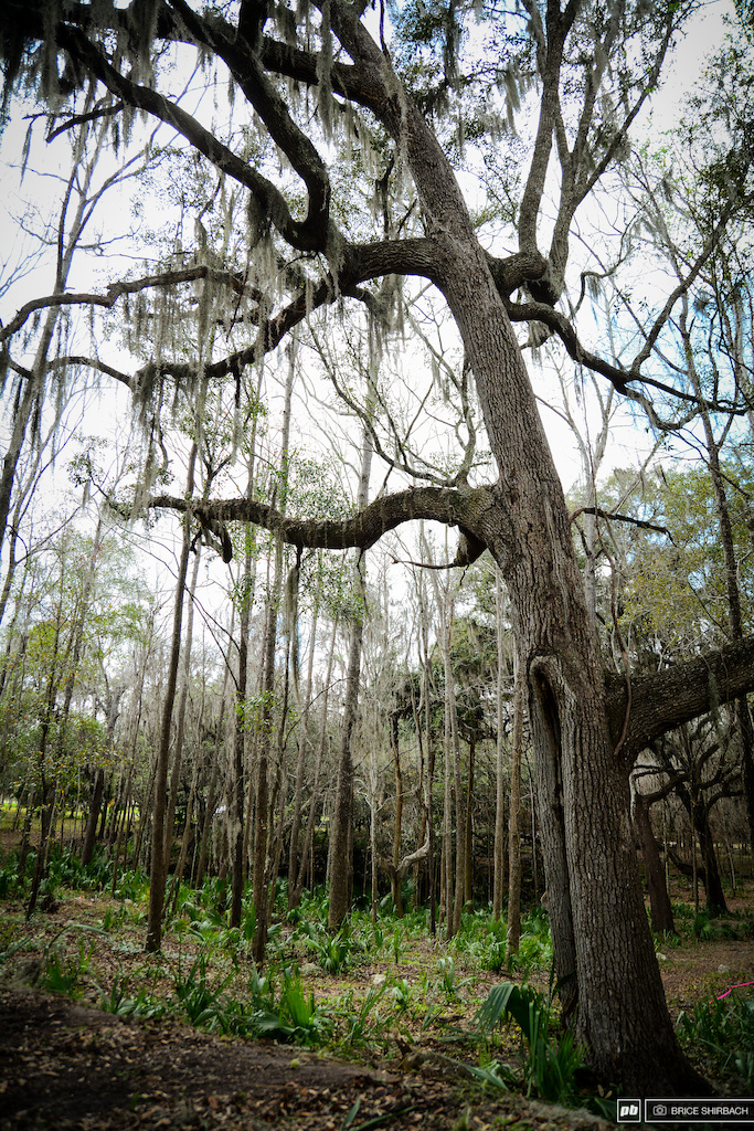 Spanish Moss dominates the region