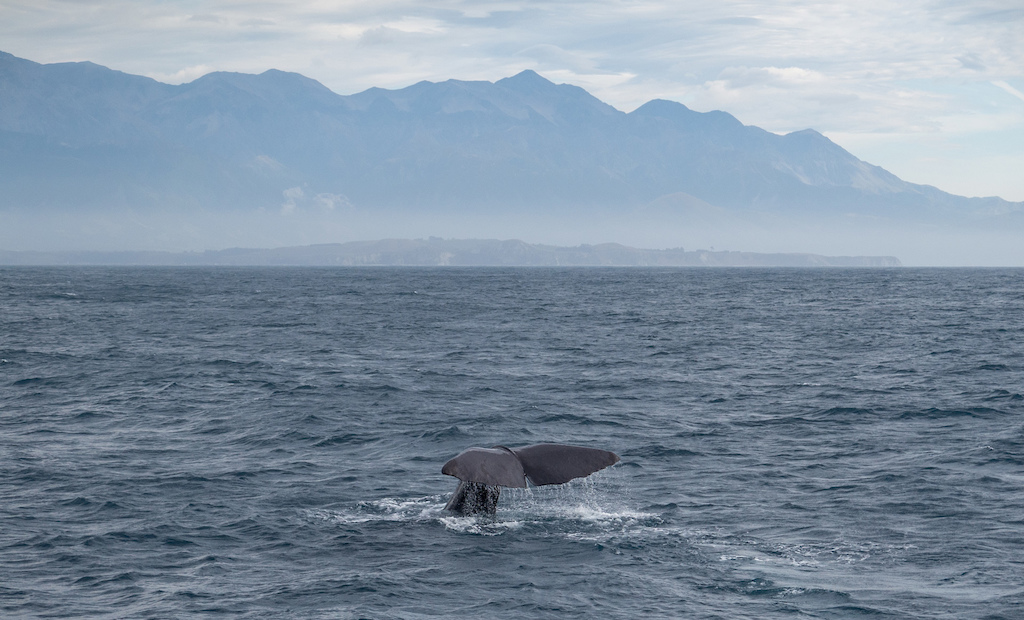 Watching sperm whales breach and dive off the coast of Kaikoura New Zealand