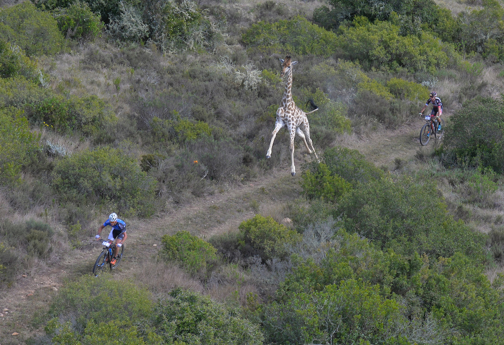 Stage 1 of the Cape Pioneer Trek international stage race in South Africa took riders through the Gondwana Game Reserve where some competitors had a close encounter with a giraffe. Photo credit www.zooncronje.com