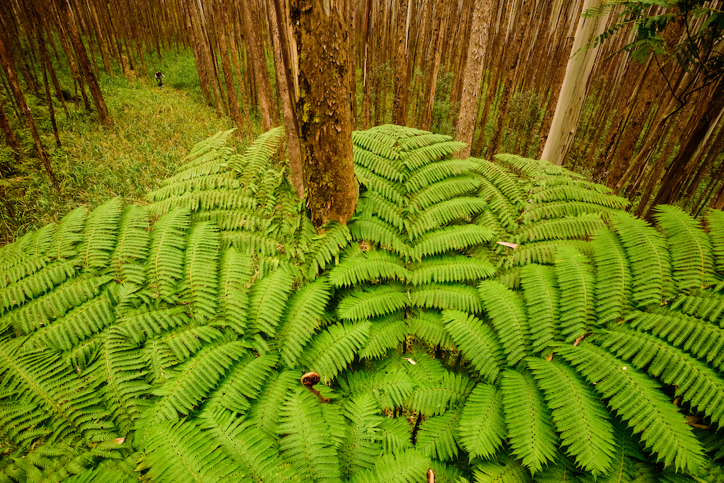 Jurassic ferns