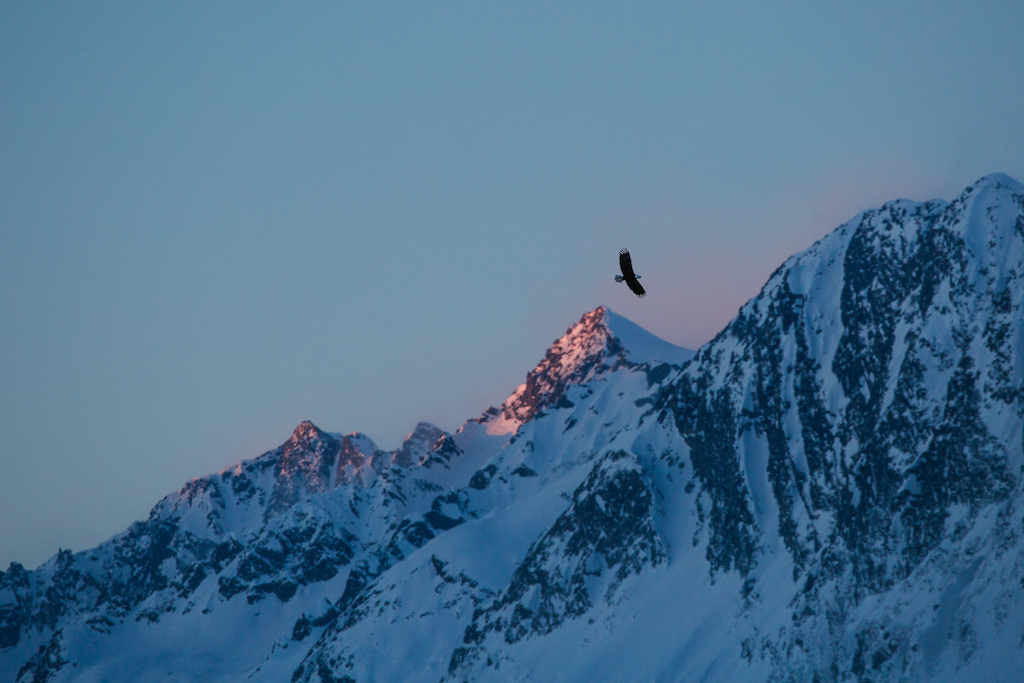 Just one of many resident bald eagles in Valdez. Photo Robb Thompson
