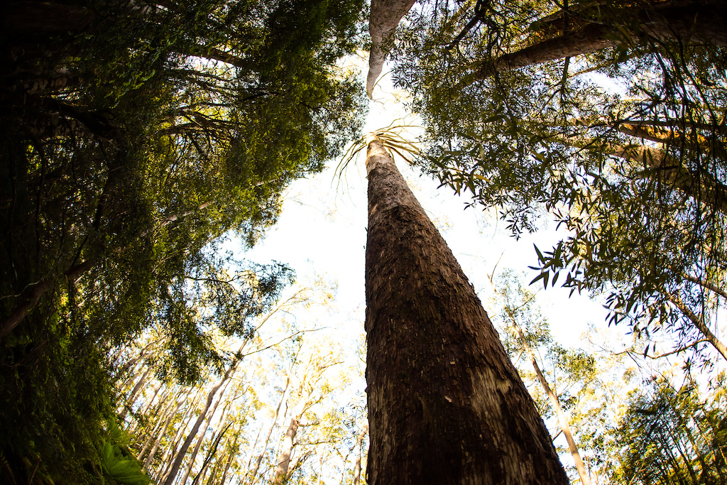 The trails weave past giant eucalypt trees. When you give your forearms a break remember to look up.