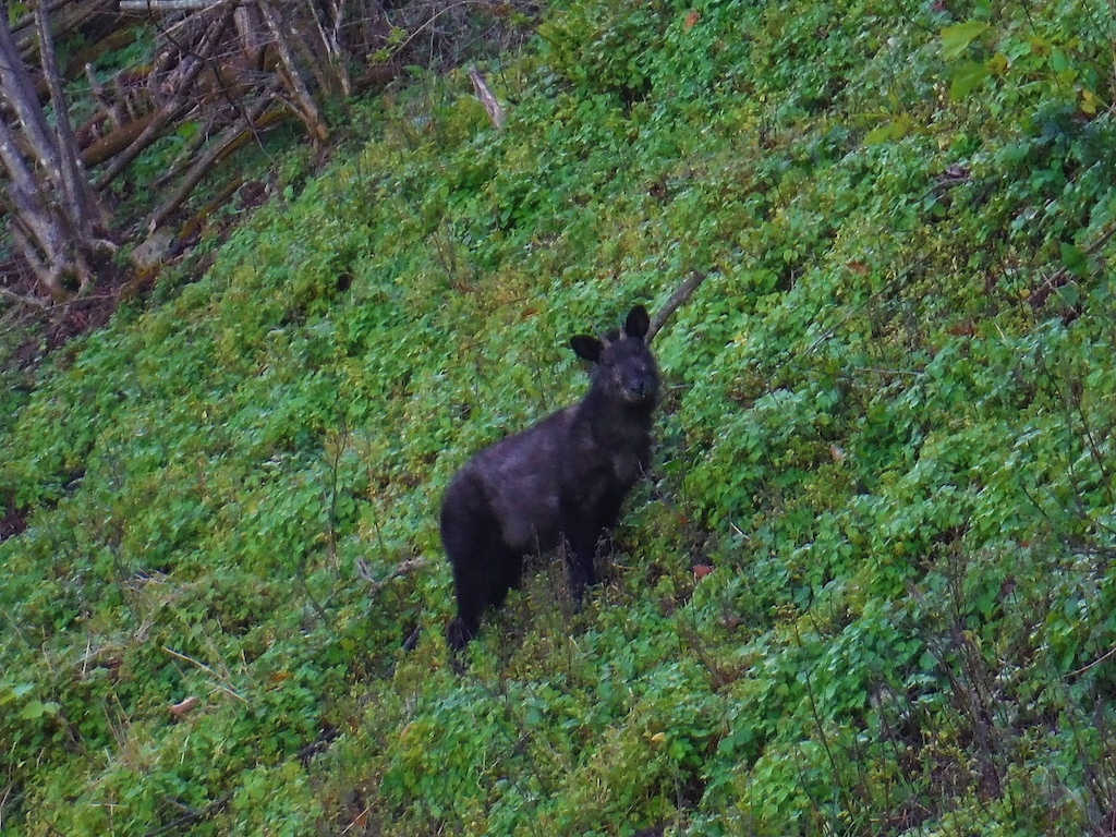 Japanese serow.