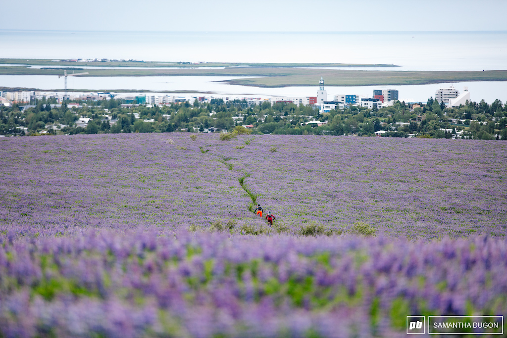 On the home straight between the Lupine flwoers heading towards the capital.