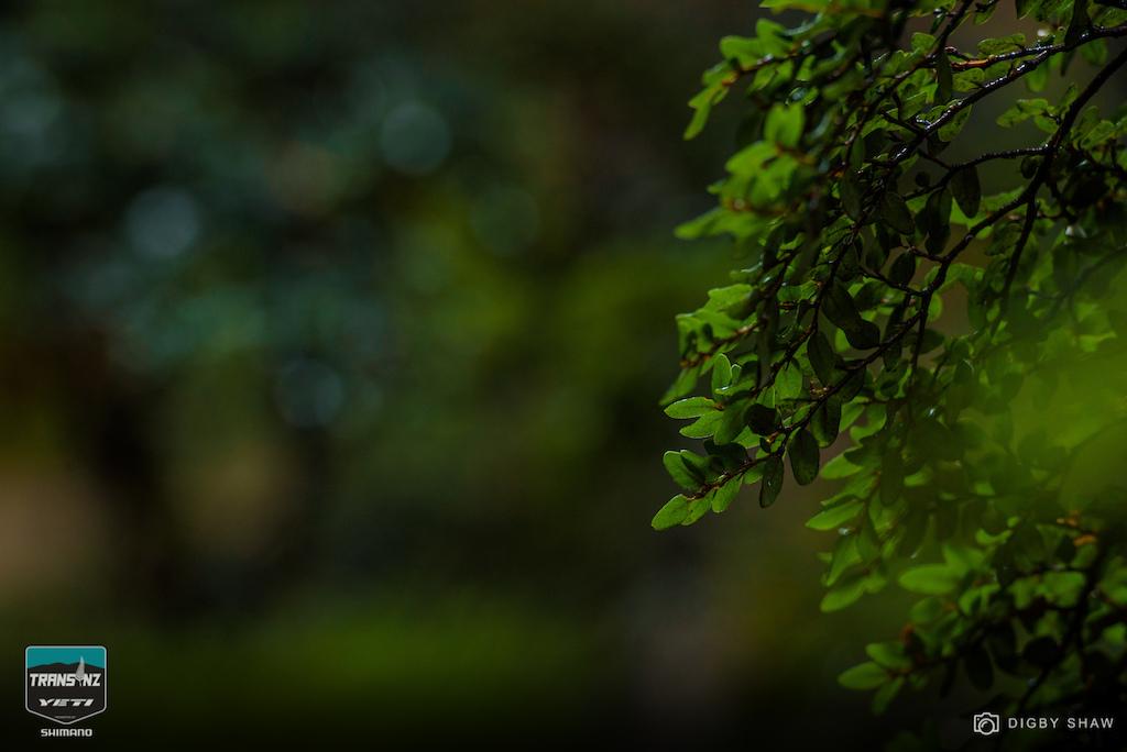The New Zealand mountain beech tree. Sweet as.