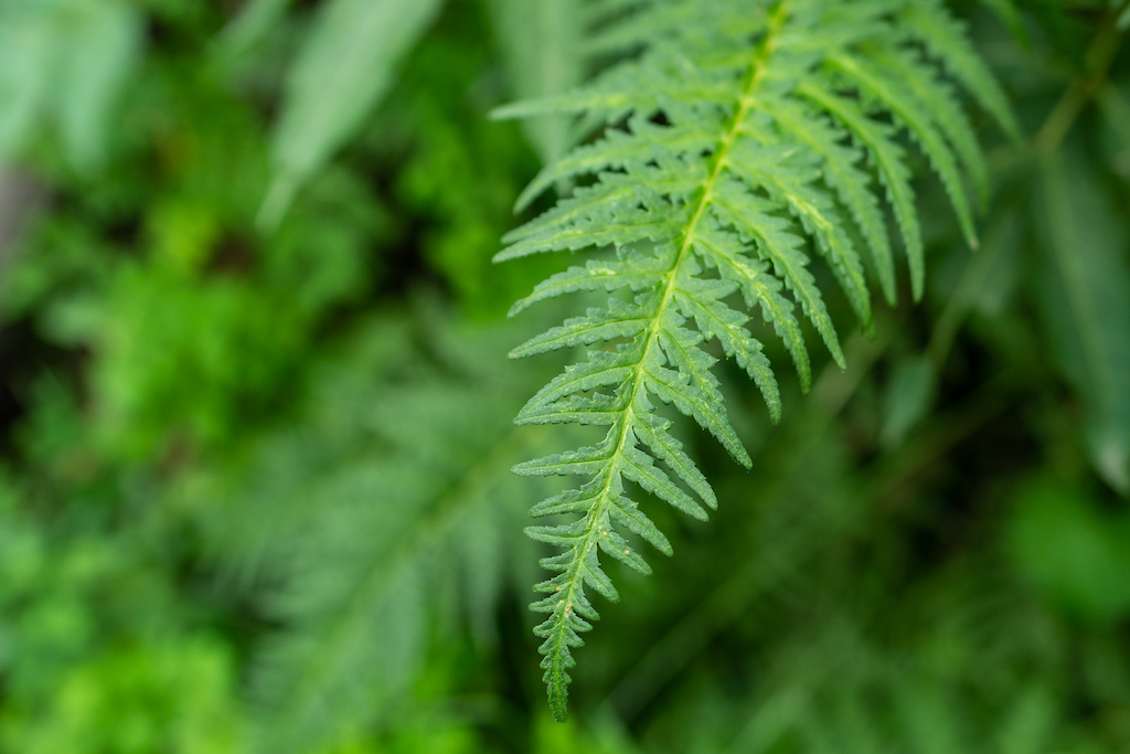Lush ferns populate the vast Aspen stands.
