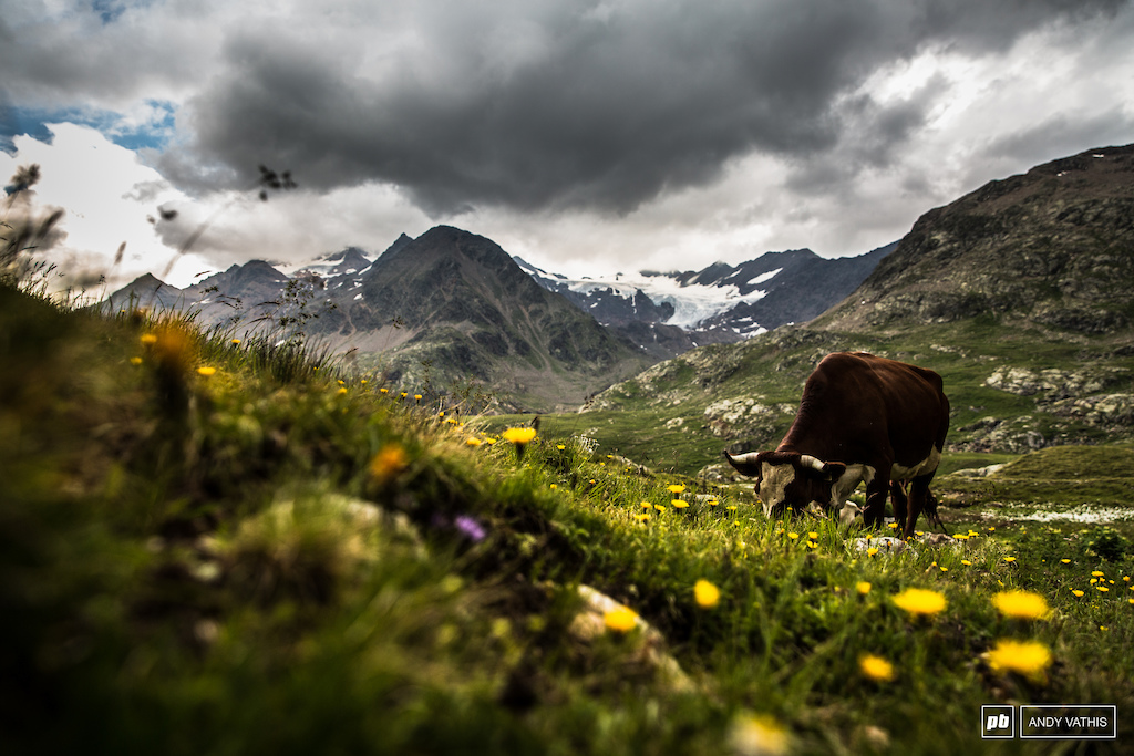 Cattle grazing between the peaks of the Italian-Swiss border.