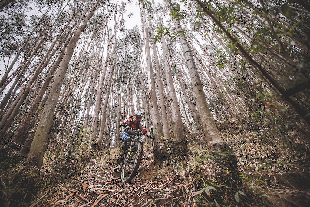 Huge Eucalyptus Trees looks like many Giants trying to catch Wayo Stein who rides as fast as he can to avoid them. Wayo Stein