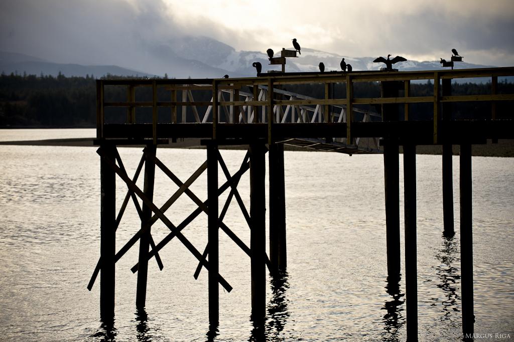 Are those Cormorants