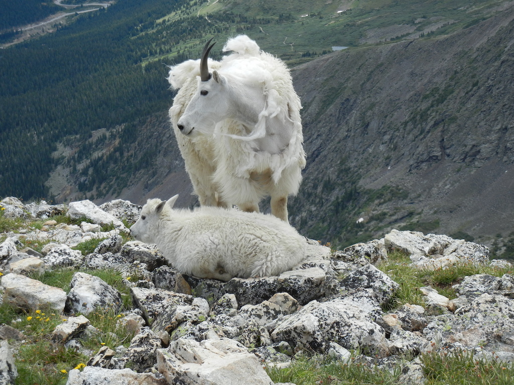 Mnt goats on Quandry Peak