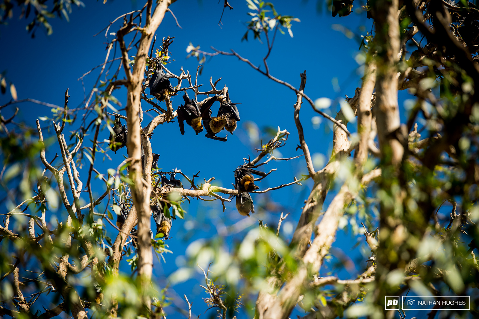 Why have pigeons when you can have bats A noisy crew of flying foxes hanging out.