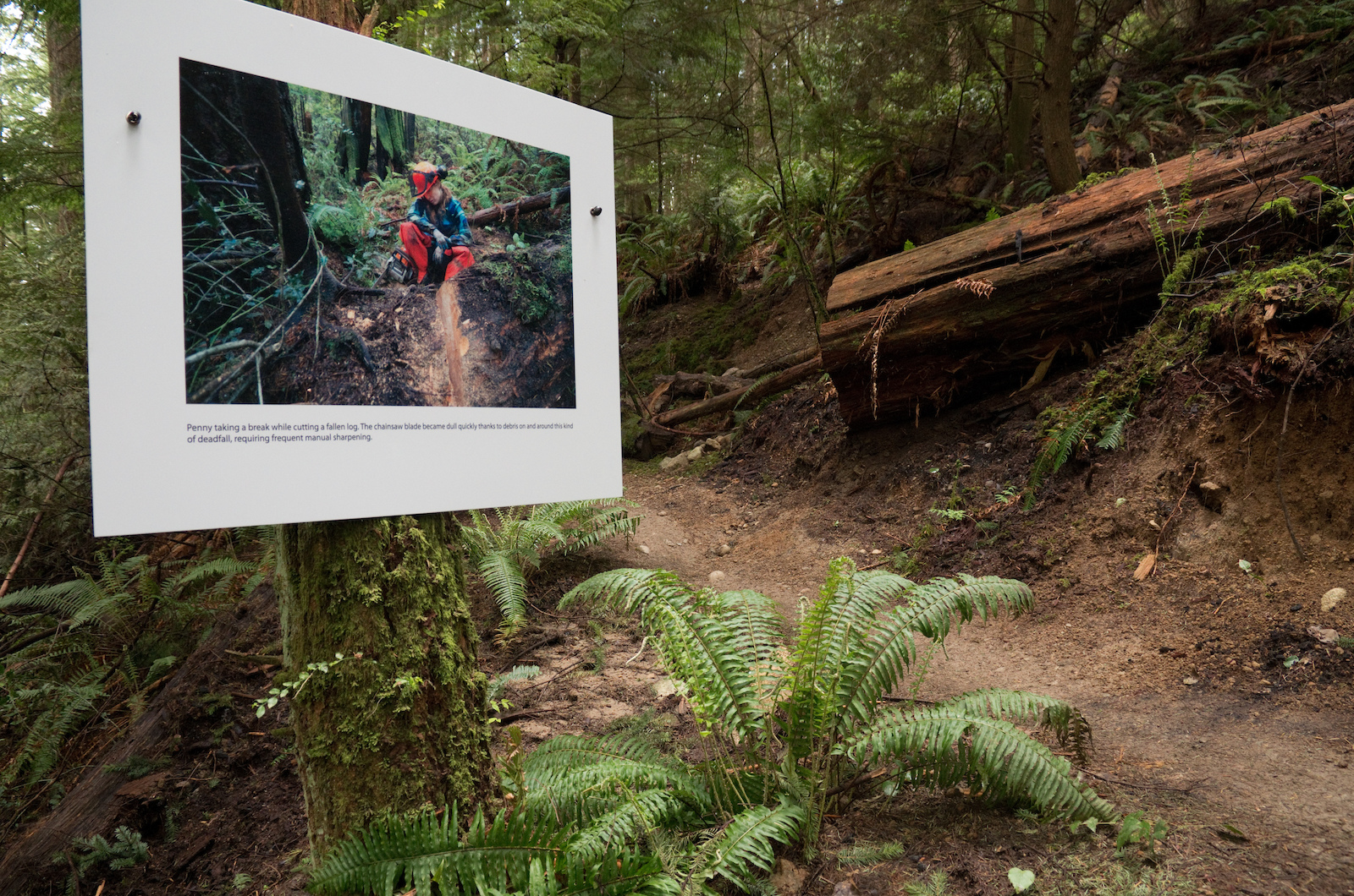 A photo of Penny chainsawing a fallen log in front of a similar log.