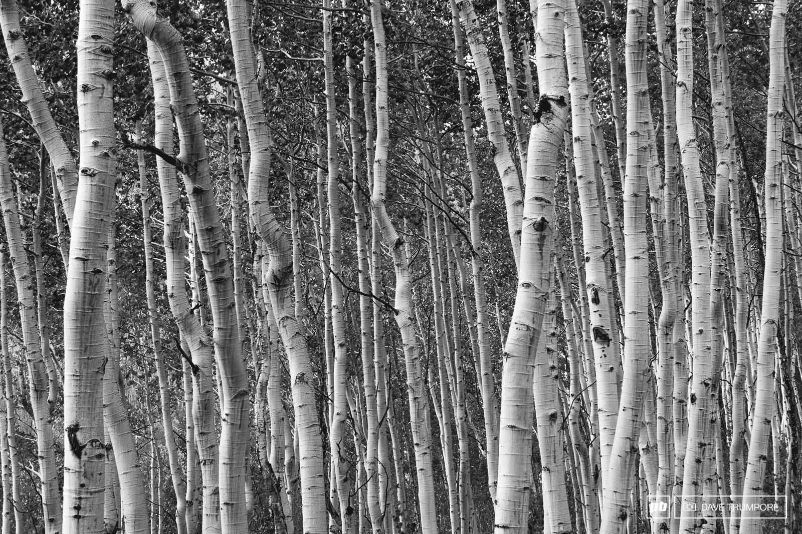 Aspen trees staked upon aspen trees in Aspen.