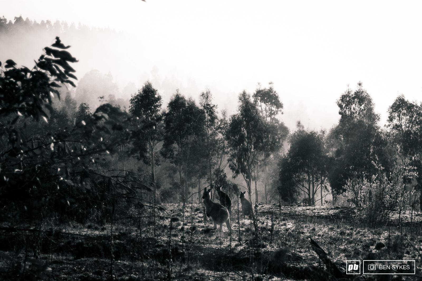 Kangaroos in the morning mist.