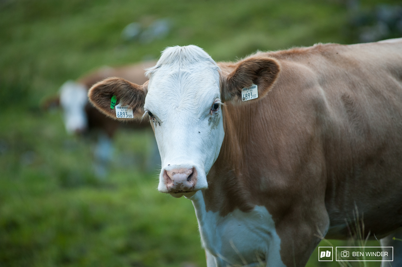Alpine cows seem to be some of the most friendly cows.