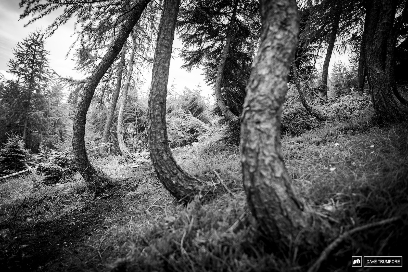 Bendy trees growing out of a steep hillside on Stage 3.