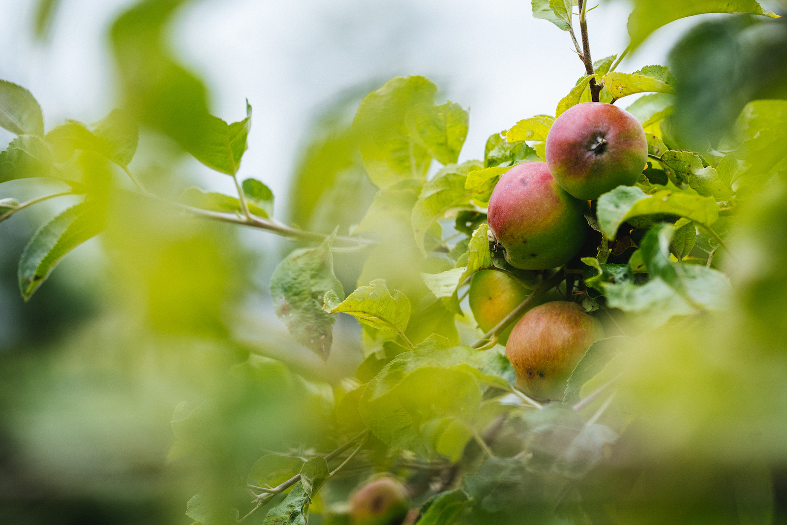 Apples used in the Slovenian cider ripen all around the hill sides.