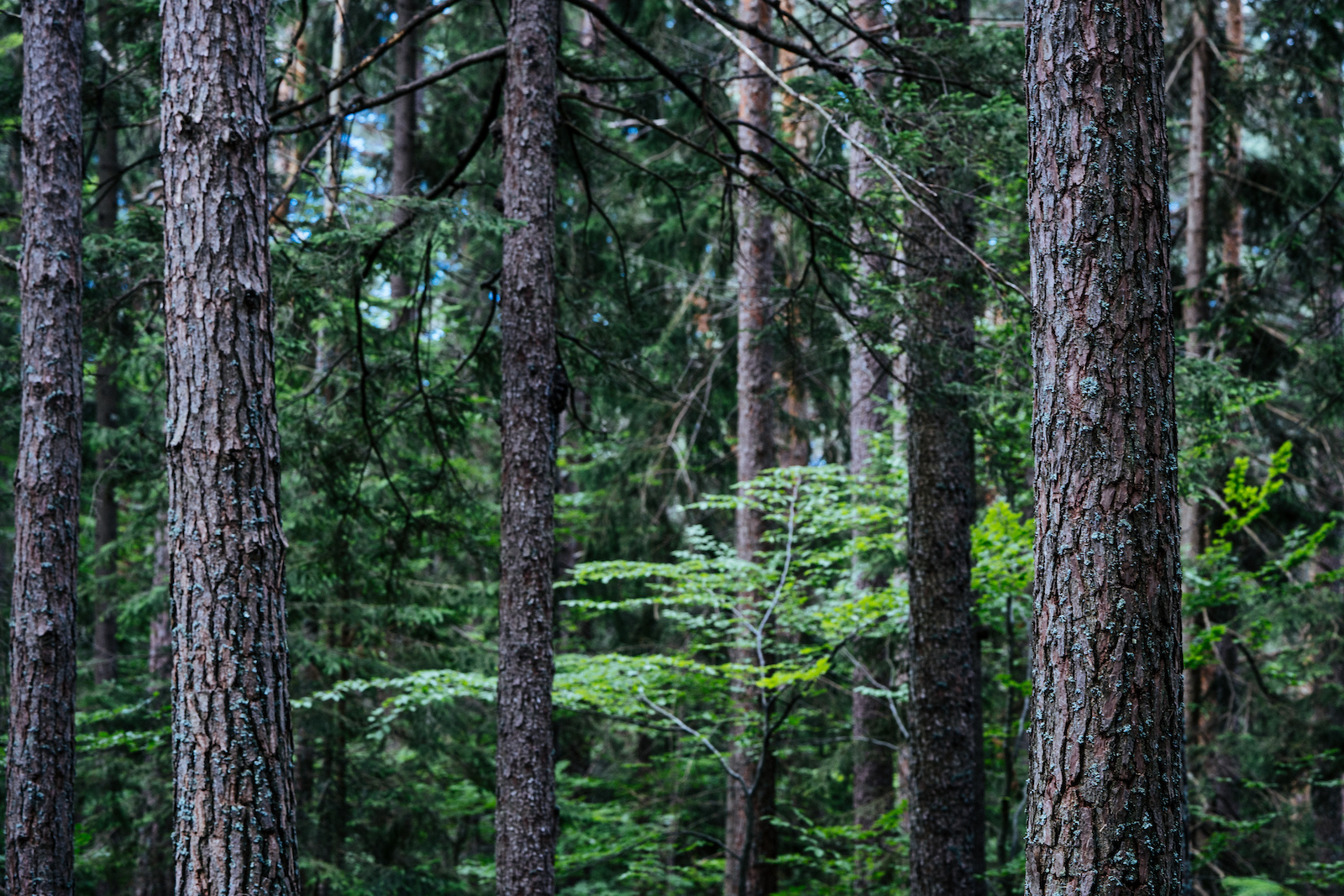 Tall straight pines make pretty forests. We are liking it here in Petzen Jamnica.