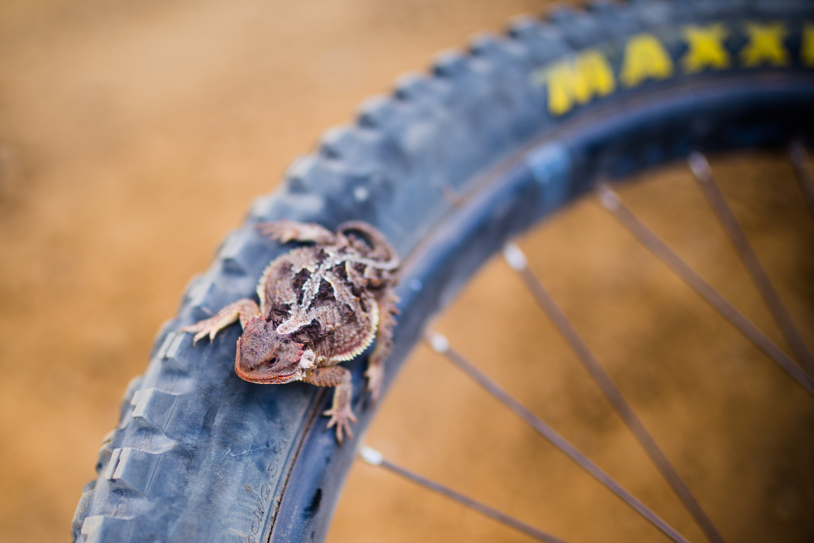 A horned lizard paid us a little visit while we stopped on the climb.